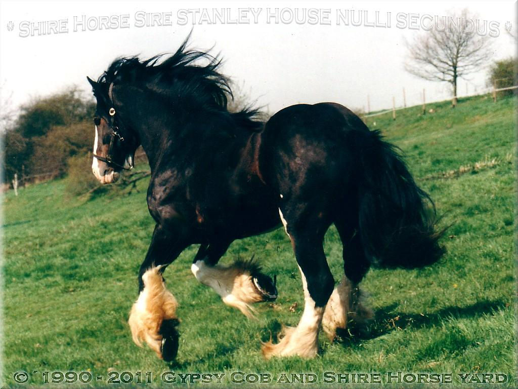 Heartily welcome on the former Gypsy Cob and Shire Horse yard.- Heartily welcome on the Tinker pony & Shire Horse yard - Shire Horse Grand & Premium Sire Stanley House Nulli Secundus - Shire Horse studfarm into the horse-paradise of the knight manor Lehrbach - April 1997