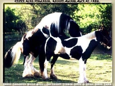 Shire Horse Yard, Shire Horse stand, Shire Horse Breeding - Heartily welcome on the Tinker pony & Shire Horse yard