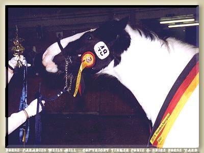 Gypsy Cob/Tinker Zuchtstunte GWENDOLYN - Bundeschampionat 1997 in Alsfeld/Hessen - Prämienstute und gesamteuropäischer Champion of Champions der Gypsy Cob/Tinker