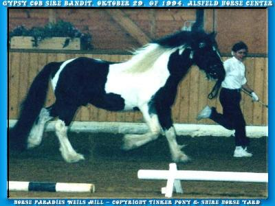 Gypsy Cob/Tinker Zuchthengst BANDIT - Körung in Alsfeld/Hessen am 29. Oktober 1994