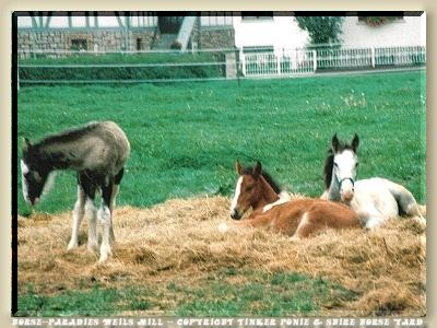 Tinker pony and Shire Horse yard, Slideshow with 736 photo of August of 1990 until August of 2004