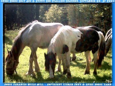Shire Horse Hengst KRAEMERS MUEHLE ACE, Slideshow mit Photos von August 2003 bis September 2004