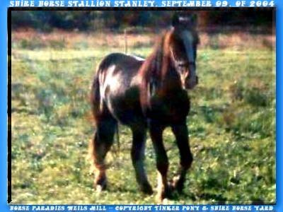 Shire Horse, Haltung, Shire Horse herkunft, <b>Shire Horse Zucht</b>, Shire Horse Verkauf, <b>Shire Horse Hengst</b> KRAEMERS MUEHLE STANLEY, aus der <b>Shire Horse Zucht</b> mit dem Shire Horse Hengst Sladbroock Select.