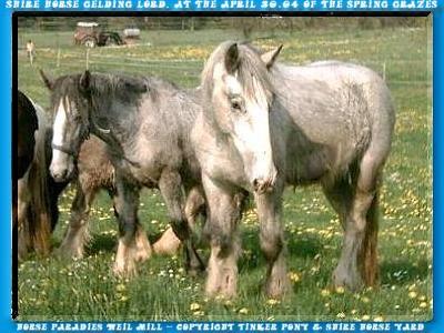 Shire Horse Wallach LORD, 251 Fotos von Juli 2001 bis September 2004