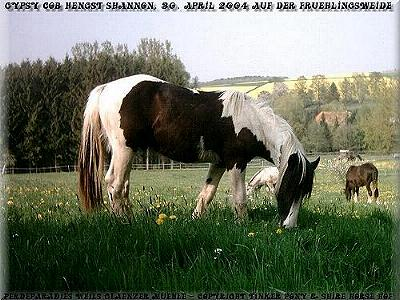 In the following Slideshow you can, with 286 photo of the 26. May of 2002 until April of 2005, the unique Gypsy Cob - Irish Tinker gelding SHANNON & his ancestors learns knows.