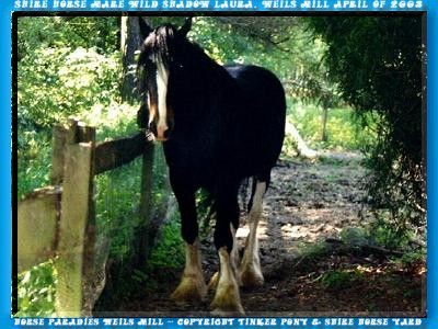 In the Slideshow you can yourself, with 44 photo of 1. September-weekend of 1997 until May of 2003, a picture of the unique Shire Horse breeding-mare Stud Book No of 146288, WILD SHADOW LAURA does.