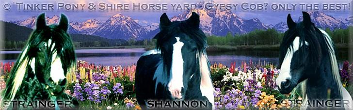 Gypsy Cob - Tinker superior stallion SHANNON, April 15th of 2004, Your search a Gypsy Cob? - WE offer only the best worldwide!