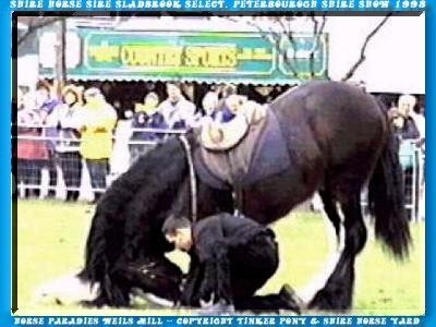 Heartily welcome on the Tinker pony & Shire Horse yard - the Shire Horse sire Sladbrook Select bows itself in Peterbourogh - on Saturday the 14. March of 1998 - also before the corrupt members of the Shire Horse Society - the unscrupulous killers of his unborn descendants.