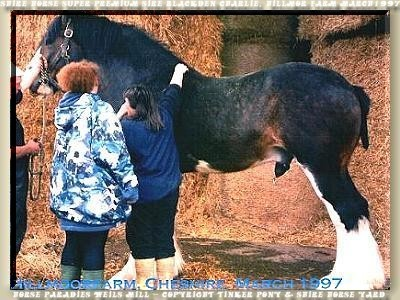 Shire Horse Super Premium Hengst Blackden Charlie, Hillmoor Farm März 1997