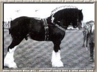 Shire Horse Super Premium Hengst Walton Supreme & Philipp Moos 1997