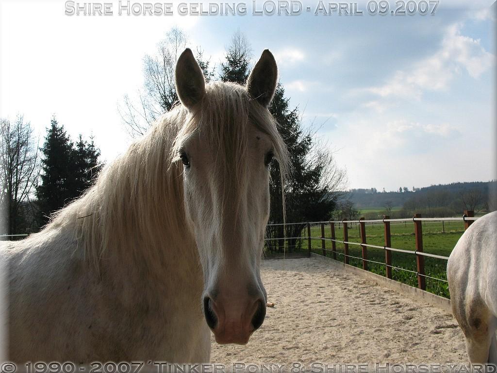 Shire Horse Zucht und Shire Horse Haltung von 1990 bis 2006