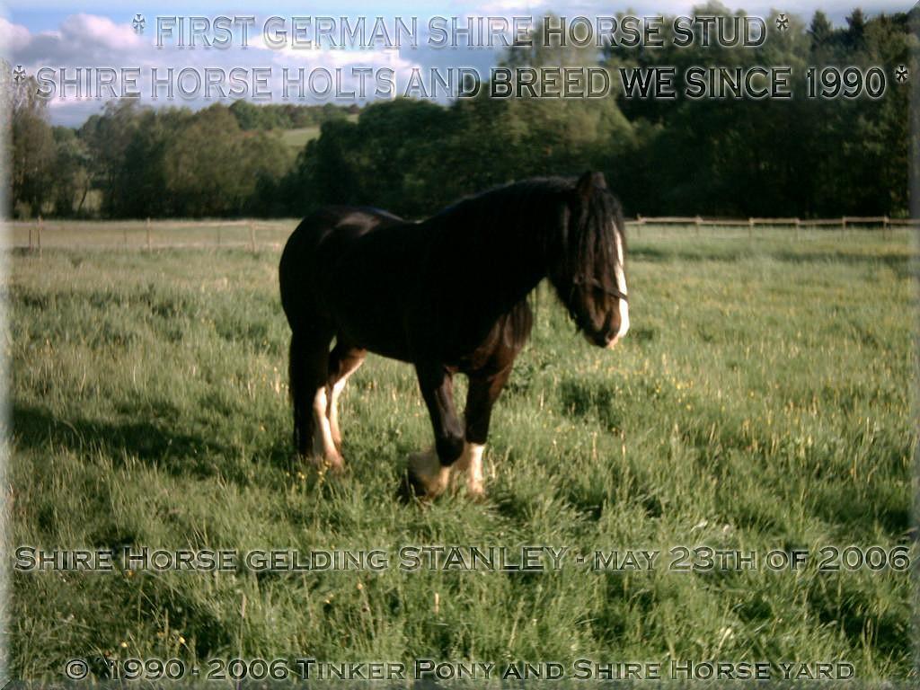 Shire Horse Haltung, <b>Shire Horse Zucht</b> und Shire Horse Verkauf, seit 1990.