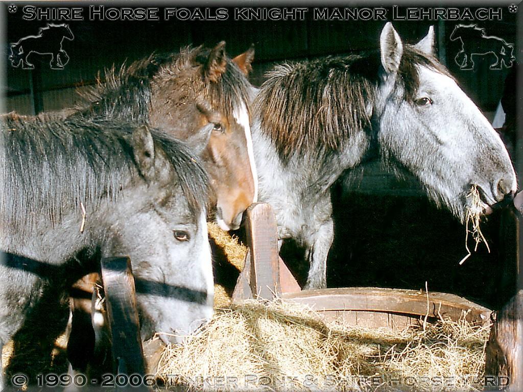 """Heartily welcome on the former Gypsy Cob and Shire Horse yard. - Shire Horse """"Halbstarkenherde"""" beim Frühstück 2001 - auch wenn Dies Frau Dr. Jung überhaupt nicht passt! - schmeckt es hervorragend."""